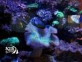 Морской рифовый аквариум, с жесткими и мягкими кораллами, Крестовский остров. Общий объем 500л.