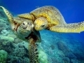 Черепахи Бисса (Eretmochelys imbricata).