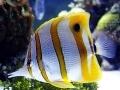 Бабочка пинцет-Хелмон (Chelmon rostratus)