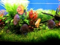 Аквариум с дискусами и живыми растениями.